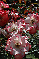 Betty Boop Rose (Rosa 'Betty Boop') at Roger's Gardens