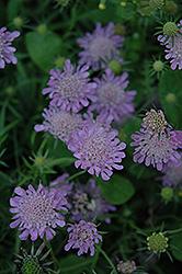 Misty Butterflies Dwarf Pincushion Flower (Scabiosa columbaria 'Misty Butterflies') at Roger's Gardens