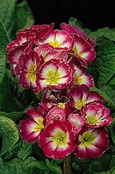Supernova Rose Bicolor Primrose (Primula 'Supernova Rose Bicolor') at Roger's Gardens