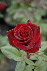 Black Magic Rose (Rosa 'Black Magic') at Roger's Gardens