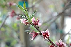 Babcock Peach (Prunus persica 'Babcock') at Roger's Gardens