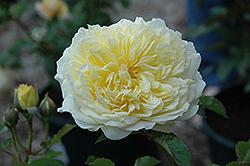 The Pilgrim Rose (Rosa 'The Pilgrim') at Roger's Gardens