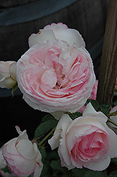Eden Climber Rose (Rosa 'Meiviolin') at Roger's Gardens