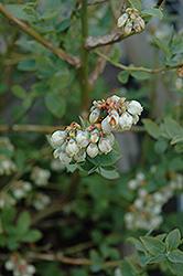 Jubilee Blueberry (Vaccinium corymbosum 'Jubilee') at Roger's Gardens