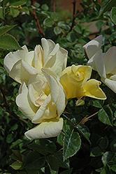 Limoncello Rose (Rosa 'Limoncello') at Roger's Gardens
