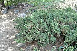 San Jose Juniper (Juniperus chinensis 'San Jose') at Roger's Gardens