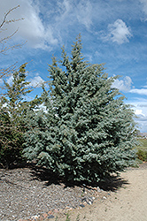 Arizona Cypress (Cupressus arizonica) at Roger's Gardens