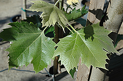 Yarwood London Planetree (Platanus x acerifolia 'Yarwood') at Roger's Gardens