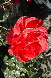 Lasting Peace Rose (Rosa 'Meihurge') at Roger's Gardens
