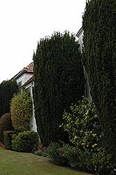 Upright Irish Yew (Taxus baccata 'Fastigiata Robusta') at Roger's Gardens
