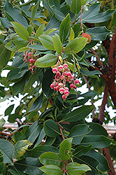 Pacific Madrone (Arbutus menziesii) at Roger's Gardens