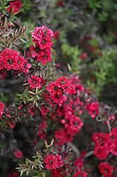 Ruby Glow Tea-Tree (Leptospermum scoparium 'Ruby Glow') at Roger's Gardens