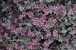 Flower Dust Plant (Kalanchoe pumila) at Roger's Gardens
