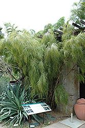 Mexican Weeping Bamboo (Otatea acuminata 'Aztecorum') at Roger's Gardens