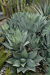 Parry's Agave (Agave parryi) at Roger's Gardens