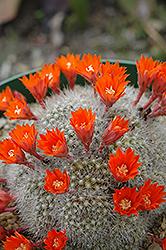 Red Crown Cactus (Rebutia minuscula) at Roger's Gardens