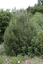 Knobcone Pine (Pinus attenuata) at Roger's Gardens