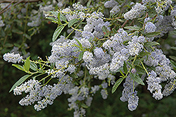 Blueblossom Ceanothus (Ceanothus thyrsiflorus) at Roger's Gardens