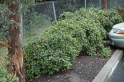 Eve Case Coffeeberry (Rhamnus californica 'Eve Case') at Roger's Gardens