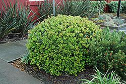 Dwarf Yeddo Hawthorn (Rhaphiolepis umbellata 'Minor') at Roger's Gardens