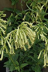 Moonraker Cape Fuchsia (Phygelius 'Moonraker') at Roger's Gardens
