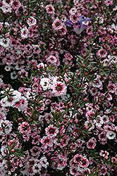 Martini Tea-Tree (Leptospermum scoparium 'Martini') at Roger's Gardens