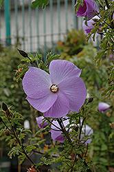 Santa Cruz Lilac Hibiscus (Alyogyne huegelii 'Santa Cruz') at Roger's Gardens