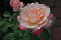 April In Paris Rose (Rosa 'April In Paris') at Roger's Gardens