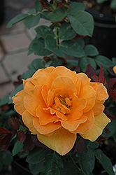 Vavoom Rose (Rosa 'Vavoom') at Roger's Gardens