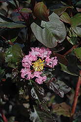 Rhapsody In Pink Crapemyrtle (Lagerstroemia indica 'Whit VIII') at Roger's Gardens