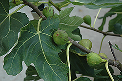 Mission Fig (Ficus carica 'Mission') at Roger's Gardens