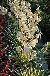 Color Guard Adam's Needle (Yucca filamentosa 'Color Guard') at Roger's Gardens