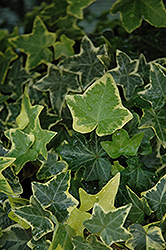 Gold Child Ivy (Hedera helix 'Gold Child') at Roger's Gardens