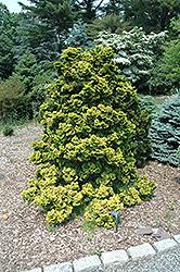 Golden Hinoki Falsecypress (Chamaecyparis obtusa 'Lutea') at Roger's Gardens