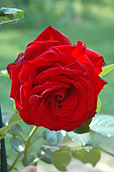 Dublin Bay Rose (Rosa 'Dublin Bay') at Roger's Gardens