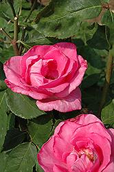 The McCartney Rose (Rosa 'The McCartney') at Roger's Gardens