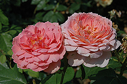 Carding Mill Rose (Rosa 'Carding Mill') at Roger's Gardens