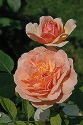 Grace Rose (Rosa 'Grace') at Roger's Gardens