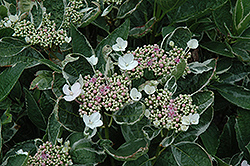 Mariesii Variegata Hydrangea (Hydrangea macrophylla 'Mariesii Variegata') at Roger's Gardens