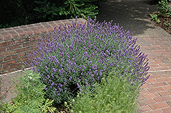 English Lavender (Lavandula angustifolia) at Roger's Gardens