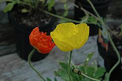 Wonderland Mix Poppy (Papaver nudicaule 'Wonderland') at Roger's Gardens