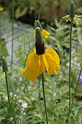 Mexican Hat (Ratibida columnifera) at Roger's Gardens