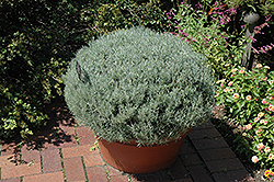 Curry Plant (Helichrysum italicum) at Roger's Gardens