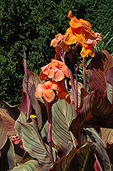 Tropicanna Canna (Canna 'Phasion') at Roger's Gardens