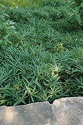 Pygmy Bamboo (Pleioblastus pygmaeus) at Roger's Gardens