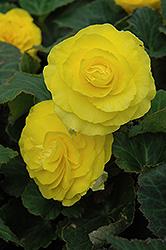 Nonstop Yellow Begonia (Begonia 'Nonstop Yellow') at Roger's Gardens