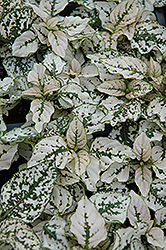 Splash Select White Polka Dot Plant (Hypoestes phyllostachya 'Splash Select White') at Roger's Gardens