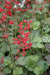 Firefly Coral Bells (Heuchera 'Firefly') at Roger's Gardens
