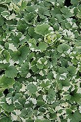Variegated Ground Ivy (Glechoma hederacea 'Variegata') at Roger's Gardens