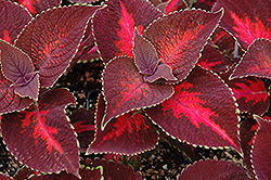 ColorBlaze Kingswood Torch Coleus (Solenostemon scutellarioides 'Kingswood Torch') at Roger's Gardens